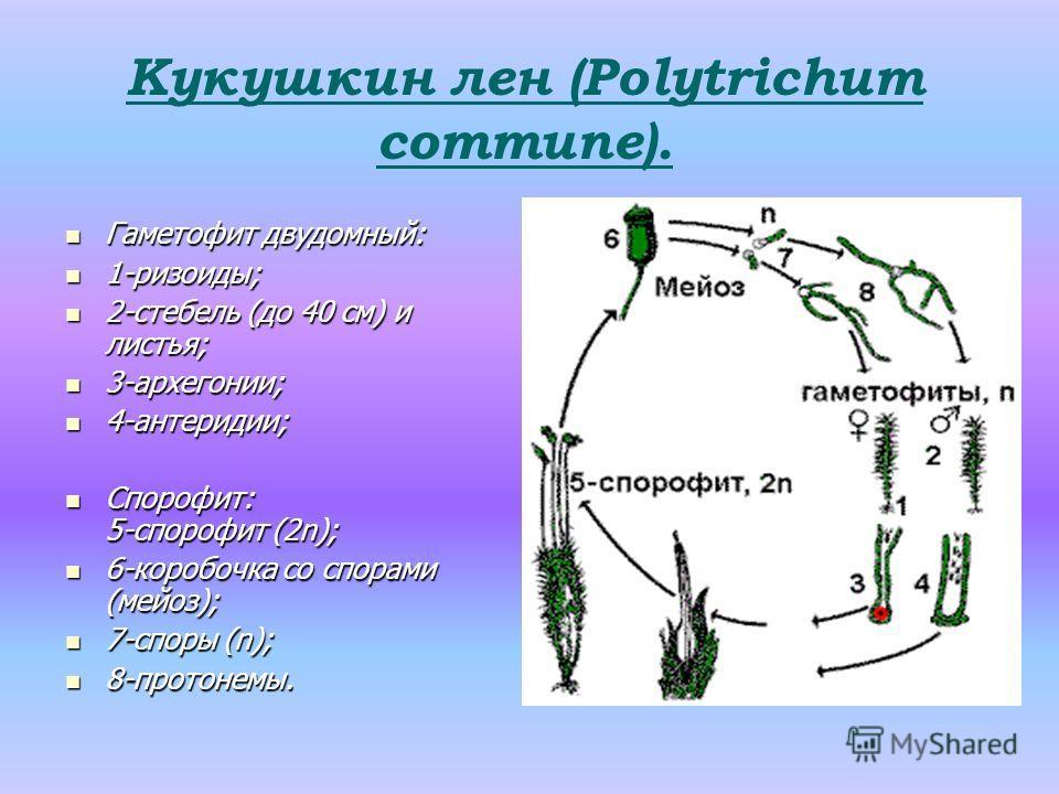 Гаметофит двудомный: Гаметофит двудомный: 1-ризоиды; 1-ризоиды; 2-стебель (до 40 см) и листья; 2-стебель (до 40 см) и листья; 3-архегонии; 3-архегонии; 4-антеридии; 4-антеридии; Спорофит: 5-спорофит (2n); Спорофит: 5-спорофит (2n); 6-коробочка со спо