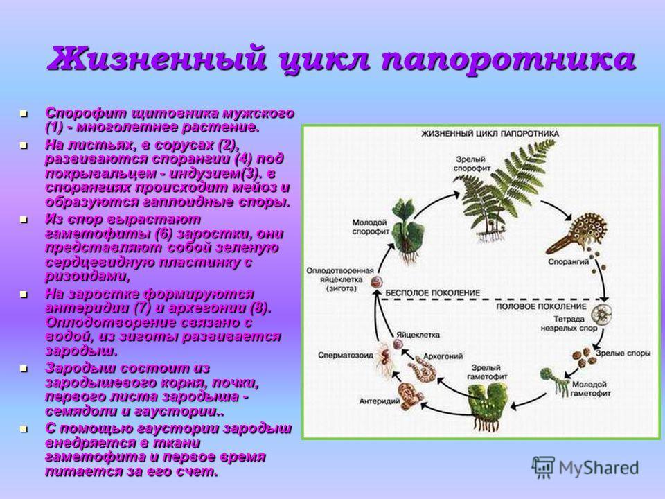 Жизненный цикл папоротника Спорофит щитовника мужского (1) - многолетнее растение. Спорофит щитовника мужского (1) - многолетнее растение. На листьях, в сорусах (2), развиваются спорангии (4) под покрывальцем - индузием(3). в спорангиях происходит ме