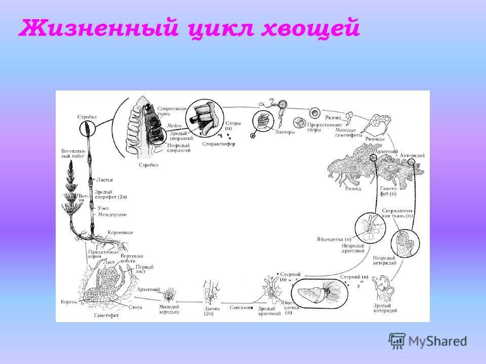 Жизненный цикл хвощей