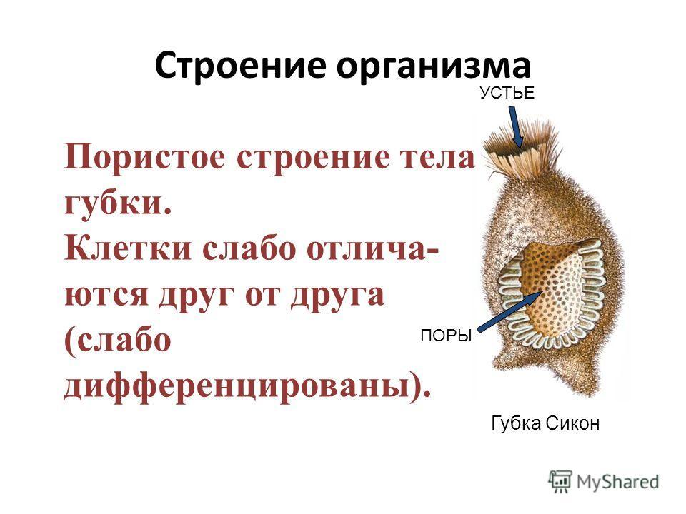 Строение организма Губка Сикон УСТЬЕ ПОРЫ Пористое строение тела губки. Клетки слабо отлича- ются друг от друга (слабо дифференцированы).