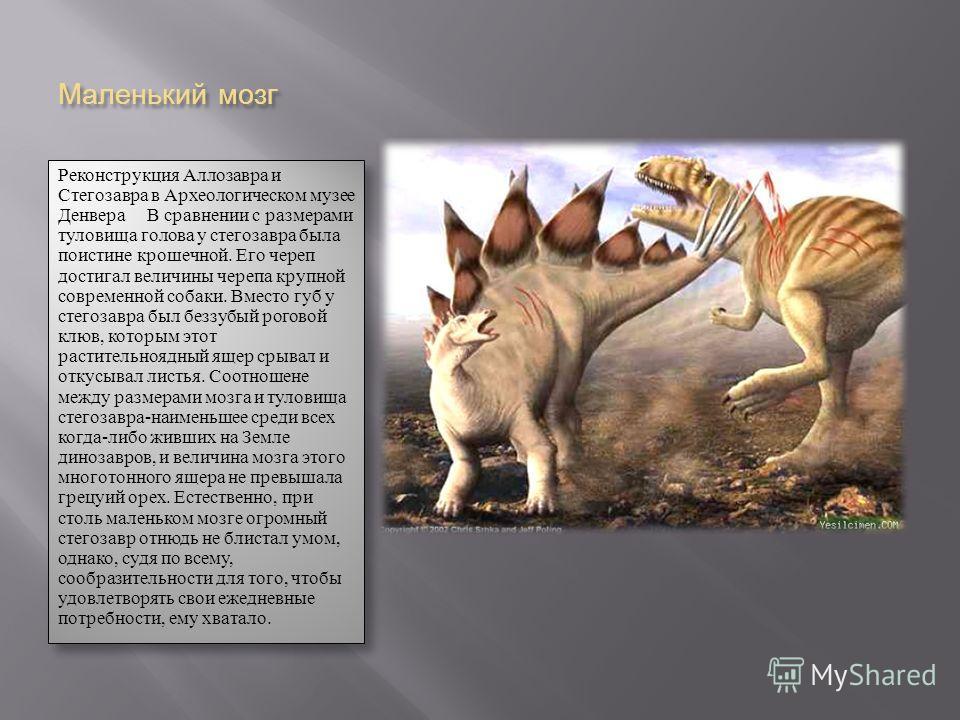 Маленький мозг Реконструкция Аллозавра и Стегозавра в Археологическом музее Денвера В сравнении с размерами туловища голова у стегозавра была поистине крошечной. Его череп достигал величины черепа крупной современной собаки. Вместо губ у стегозавра б