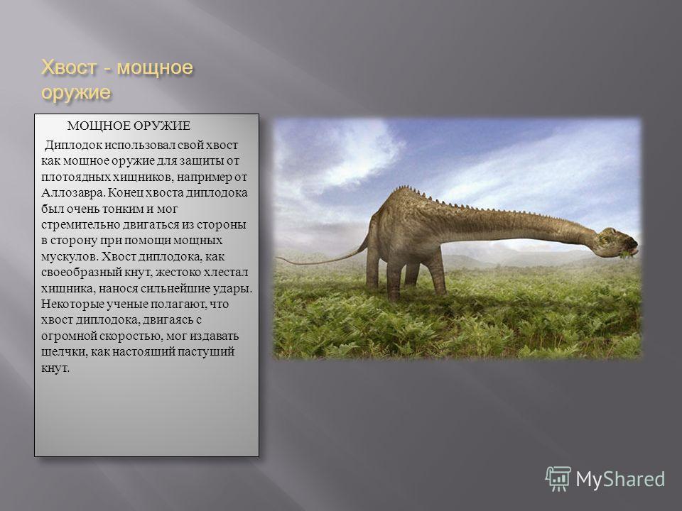 Хвост - мощное оружие МОЩНОЕ ОРУЖИЕ Диплодок использовал свой хвост как мощное оружие для защиты от плотоядных хищников, например от Аллозавра. Конец хвоста диплодока был очень тонким и мог стремительно двигаться из стороны в сторону при помощи мощны