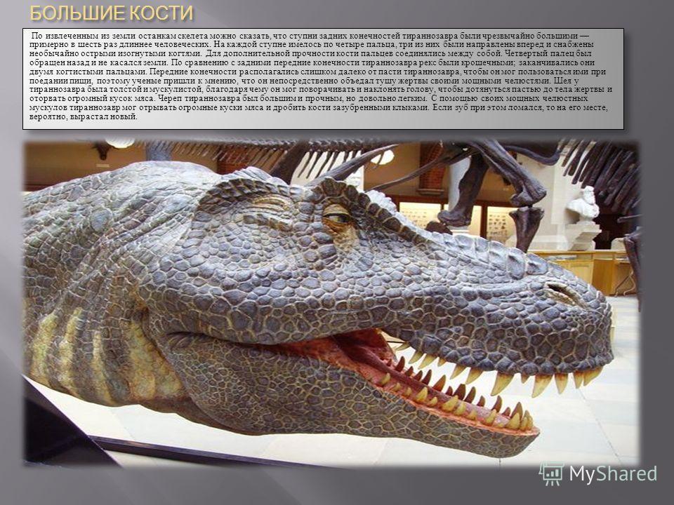 БОЛЬШИЕ КОСТИ По извлеченным из земли останкам скелета можно сказать, что ступни задних конечностей тираннозавра были чрезвычайно большими примерно в шесть раз длиннее человеческих. На каждой ступне имелось по четыре пальца, три из них были направлен