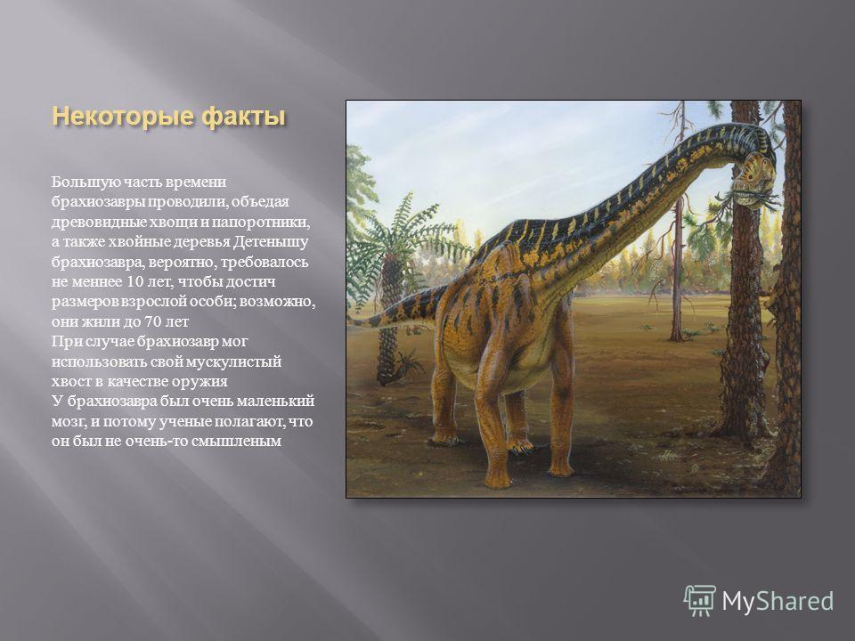 Некоторые факты Большую часть времени брахиозавры проводили, объедая древовидные хвощи и папоротники, а также хвойные деревья Детенышу брахиозавра, вероятно, требовалось не меннее 10 лет, чтобы достич размеров взрослой особи ; возможно, они жили до 7