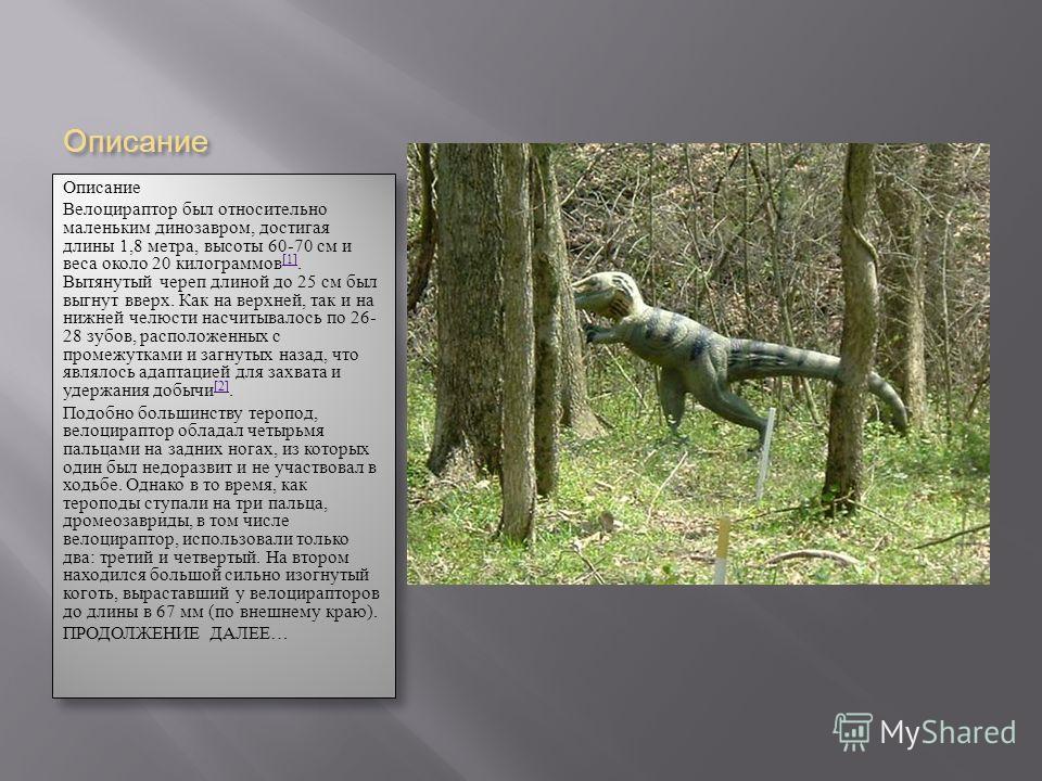 Описание Описание Велоцираптор был относительно маленьким динозавром, достигая длины 1,8 метра, высоты 60-70 см и веса около 20 килограммов [1]. Вытянутый череп длиной до 25 см был выгнут вверх. Как на верхней, так и на нижней челюсти насчитывалось п