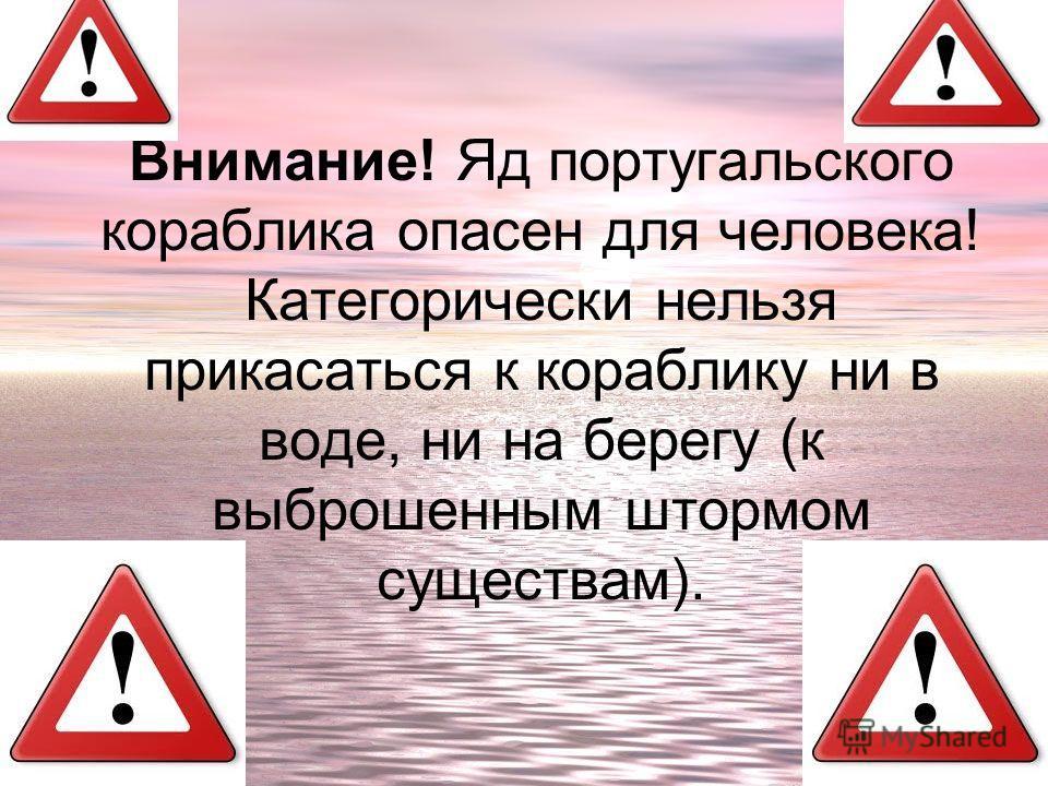 Внимание! Яд португальского кораблика опасен для человека! Категорически нельзя прикасаться к кораблику ни в воде, ни на берегу (к выброшенным штормом существам).