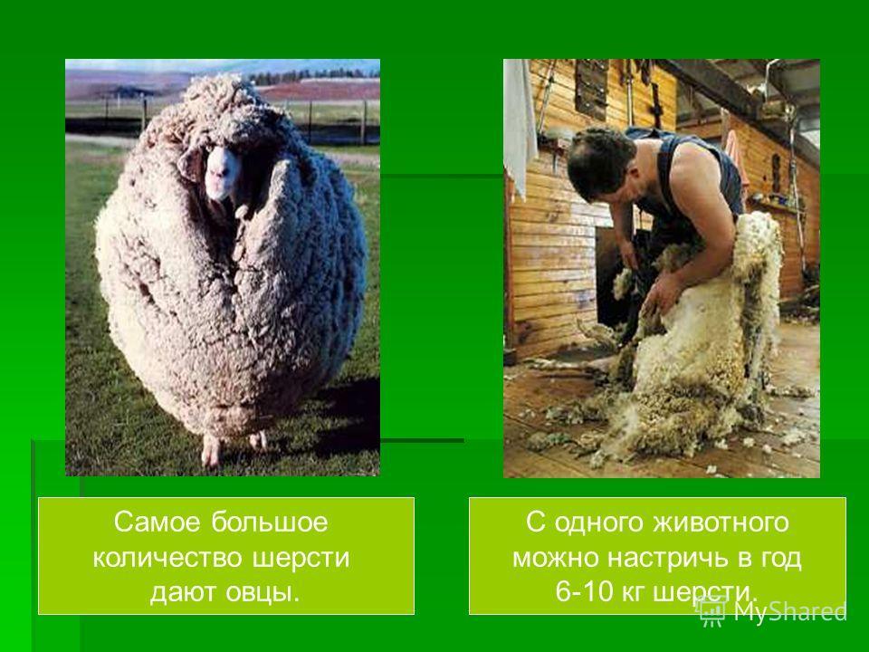Самое большое количество шерсти дают овцы. С одного животного можно настричь в год 6-10 кг шерсти.