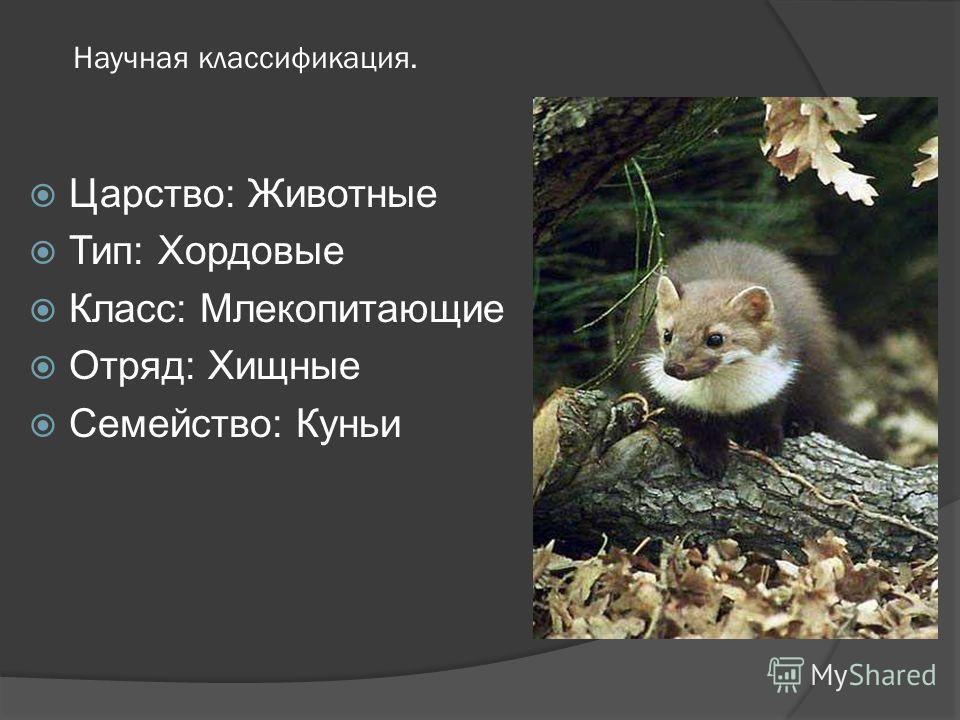 Научная классификация. Царство: Животные Тип: Хордовые Класс: Млекопитающие Отряд: Хищные Семейство: Куньи