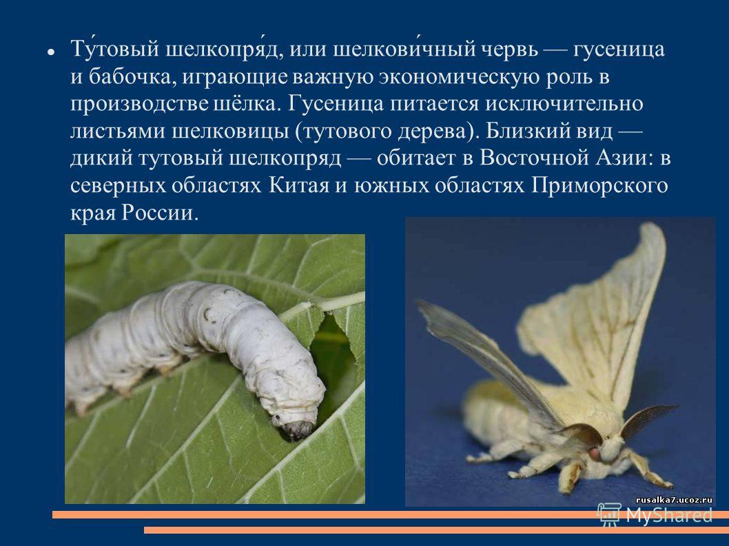Ту́товый шелкопря́д, или шелкови́чный червь гусеница и бабочка, играющие важную экономическую роль в производстве шёлка. Гусеница питается исключительно листьями шелковицы (тутового дерева). Близкий вид дикий тутовый шелкопряд обитает в Восточной Ази