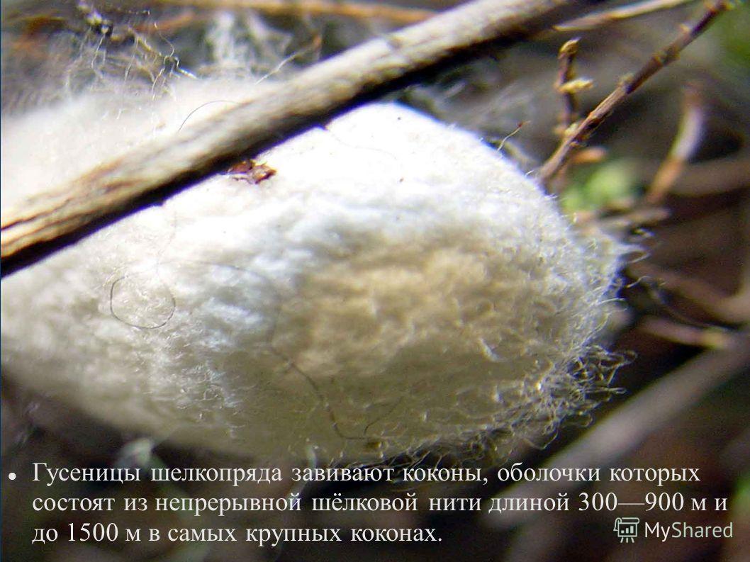 Гусеницы шелкопряда завивают коконы, оболочки которых состоят из непрерывной шёлковой нити длиной 300900 м и до 1500 м в самых крупных коконах.