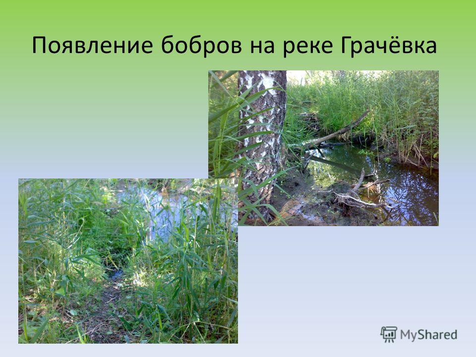 Появление бобров на реке Грачёвка