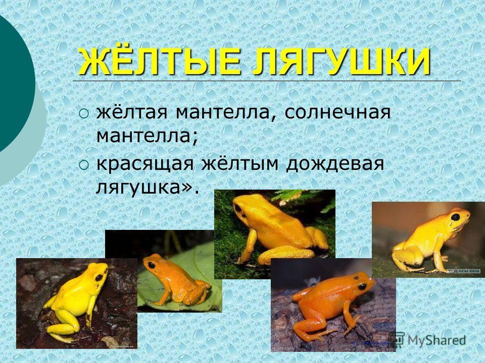 ЖЁЛТЫЕ ЛЯГУШКИ жёлтая мантелла, солнечная мантелла; красящая жёлтым дождевая лягушка».