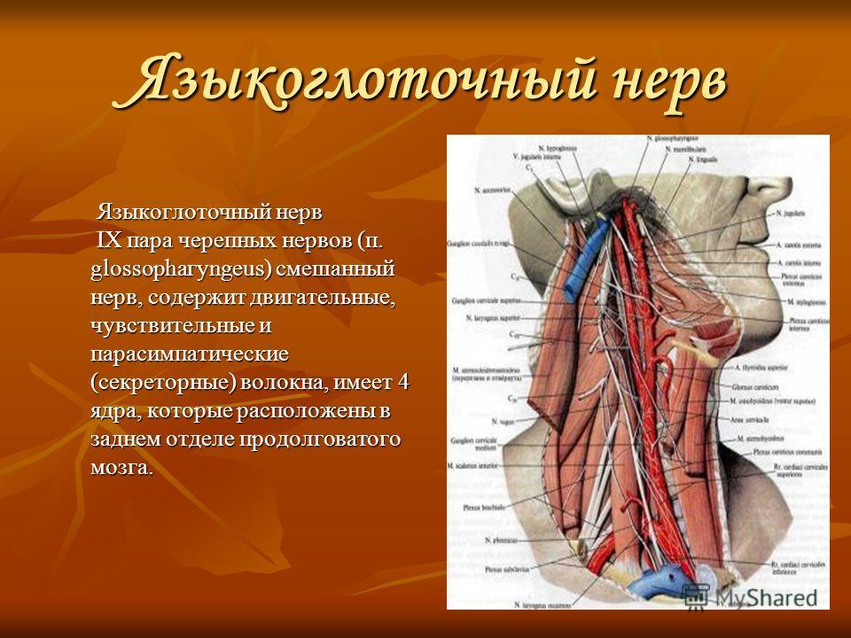 Языкоглоточный нерв Языкоглоточный нерв IX пара черепных нервов (п. glossophaгyngeus) смешанный нерв, содержит двигательные, чувствительные и парасимпатические (секреторные) волокна, имеет 4 ядра, которые расположены в заднем отделе продолговатого мо