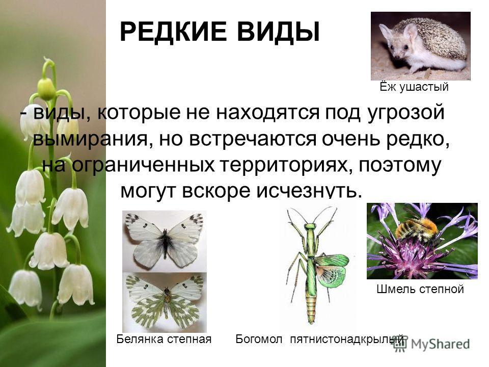 РЕДКИЕ ВИДЫ Белянка степная Шмель степной Богомол пятнистонадкрылый - виды, которые не находятся под угрозой вымирания, но встречаются очень редко, на ограниченных территориях, поэтому могут вскоре исчезнуть. Ёж ушастый