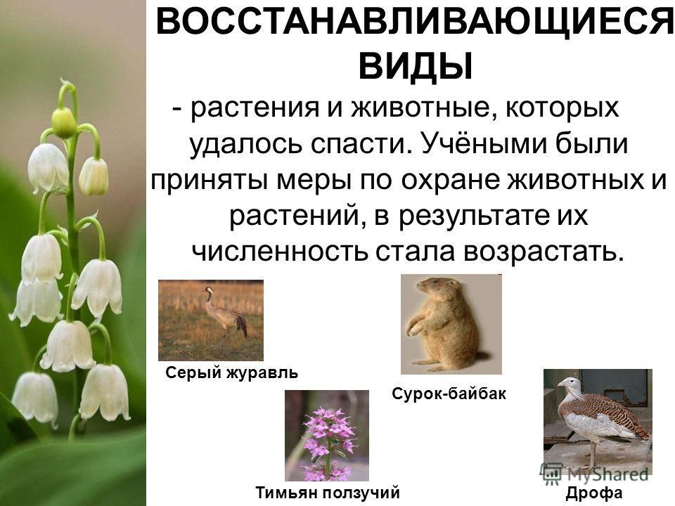 ВОССТАНАВЛИВАЮЩИЕСЯ ВИДЫ - растения и животные, которых удалось спасти. Учёными были приняты меры по охране животных и растений, в результате их численность стала возрастать. Серый журавль Тимьян ползучий Сурок-байбак Дрофа