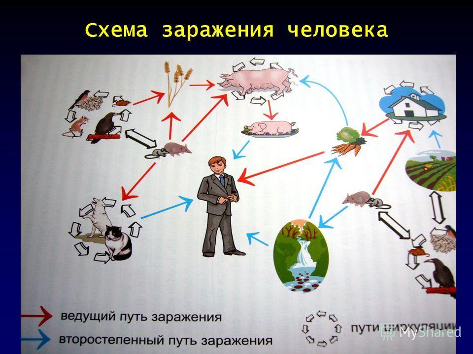 Схема заражения человека