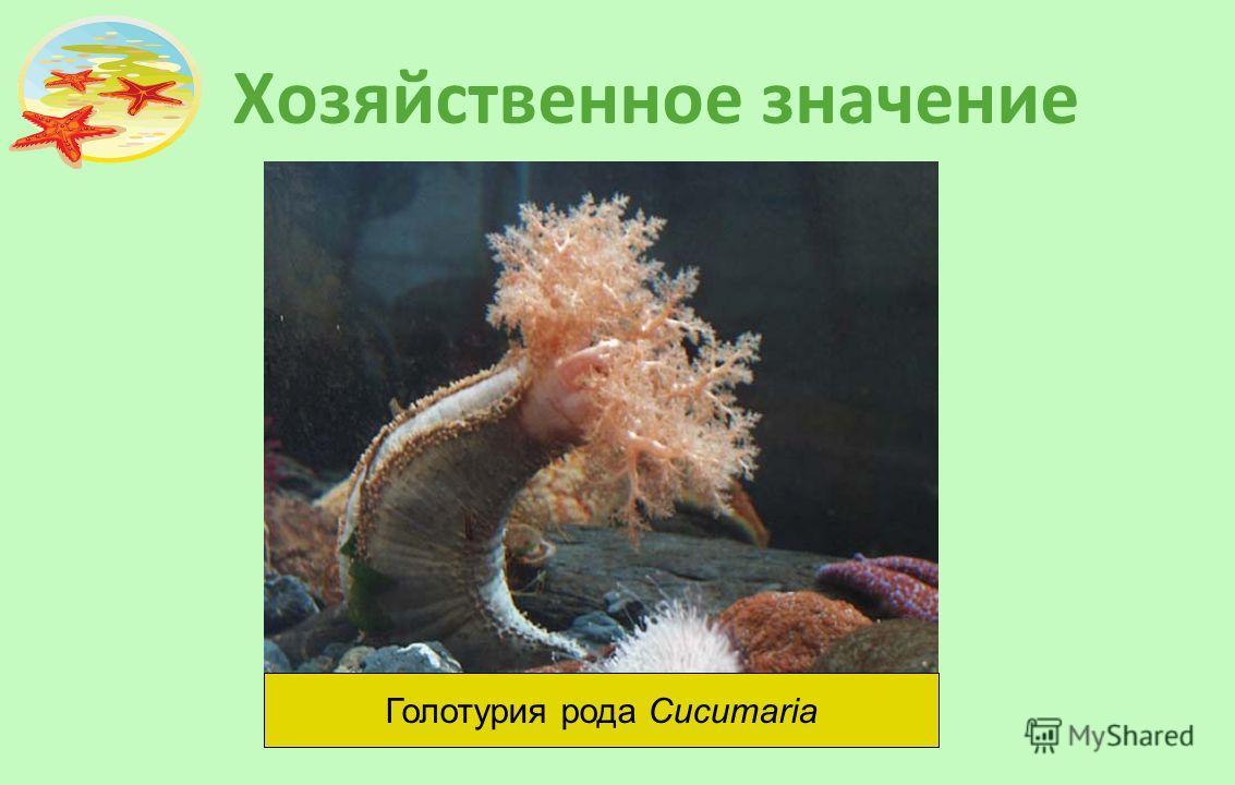 Хозяйственное значение Голотурия рода Cucumaria