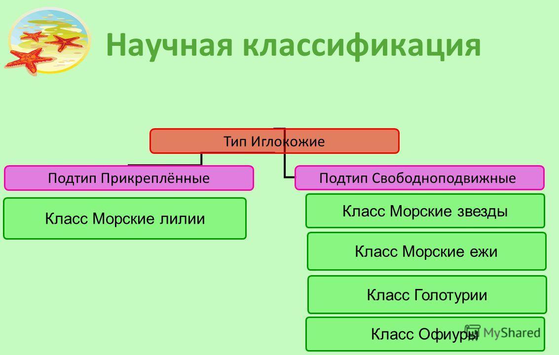 Научная классификация Тип Иглокожие Подтип Прикреплённые Подтип Свободноподвижные Класс Морские звезды Класс Морские лилии Класс Морские ежи Класс Голотурии Класс Офиуры