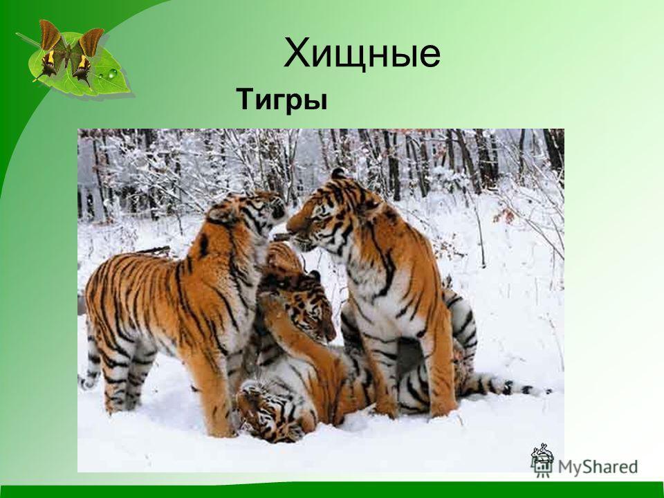 Хищные Тигры
