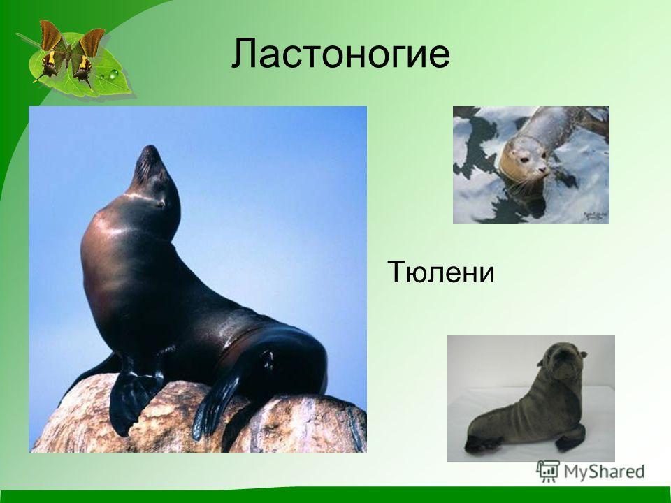 Ластоногие Тюлени