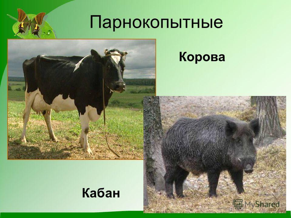 Парнокопытные Корова Кабан