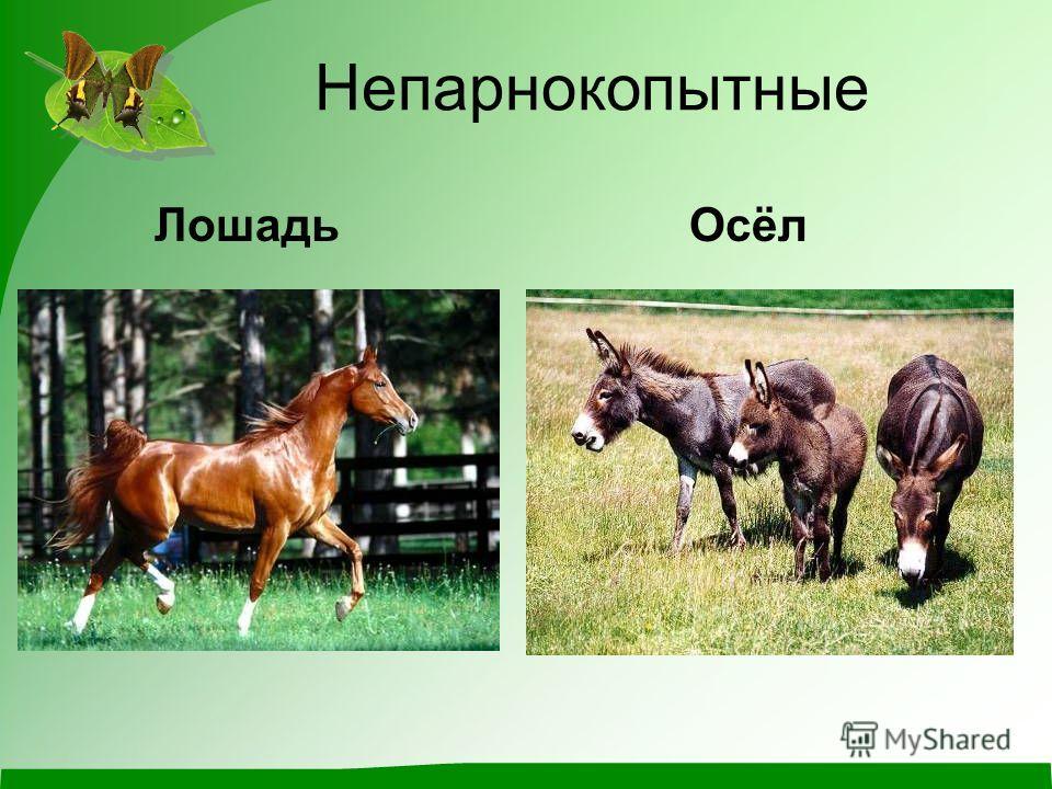 Непарнокопытные Лошадь Осёл