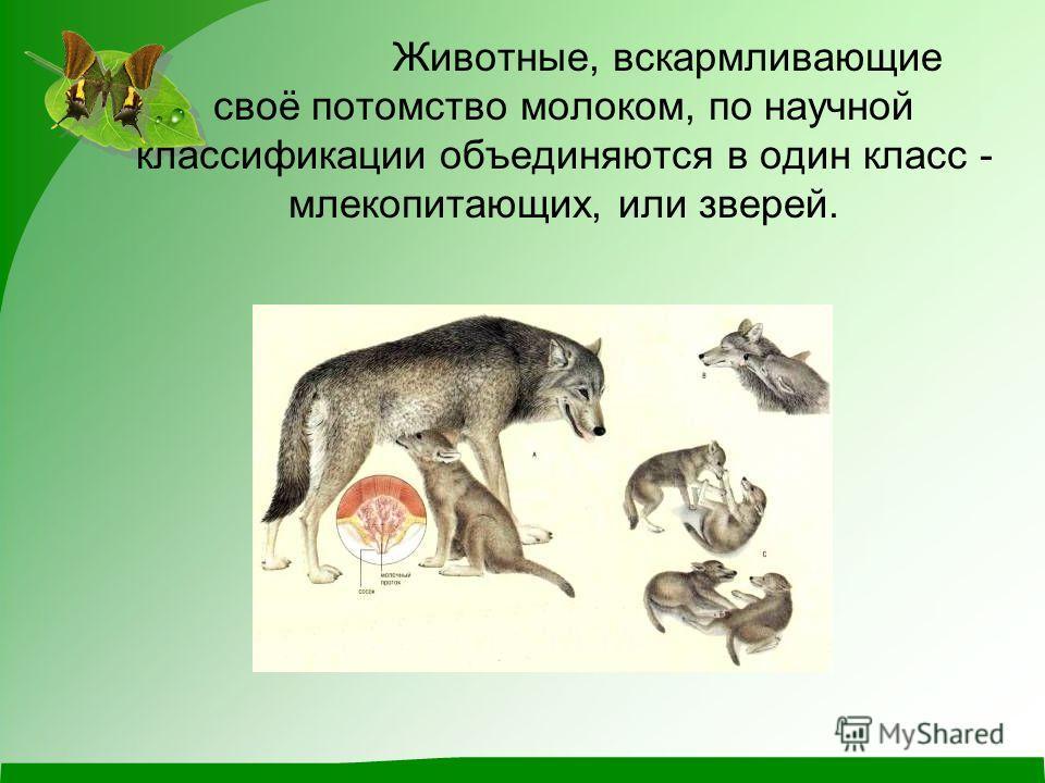 Животные, вскармливающие своё потомство молоком, по научной классификации объединяются в один класс - млекопитающих, или зверей.