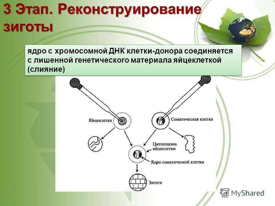 3 Этап. Реконструирование зиготы ядро с хромосомной ДНК клетки-донора соединяется с лишенной генетического материала яйцеклеткой (слияние)