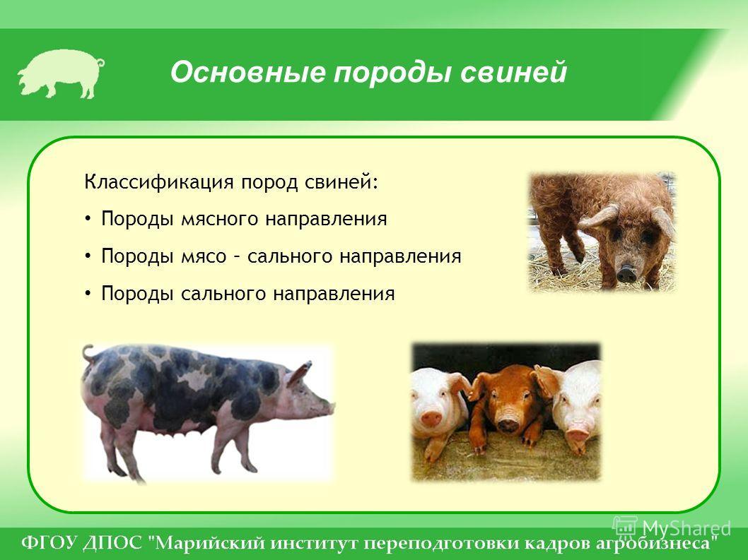 Классификация пород свиней: Породы мясного направления Породы мясо – сального направления Породы сального направления Основные породы свиней