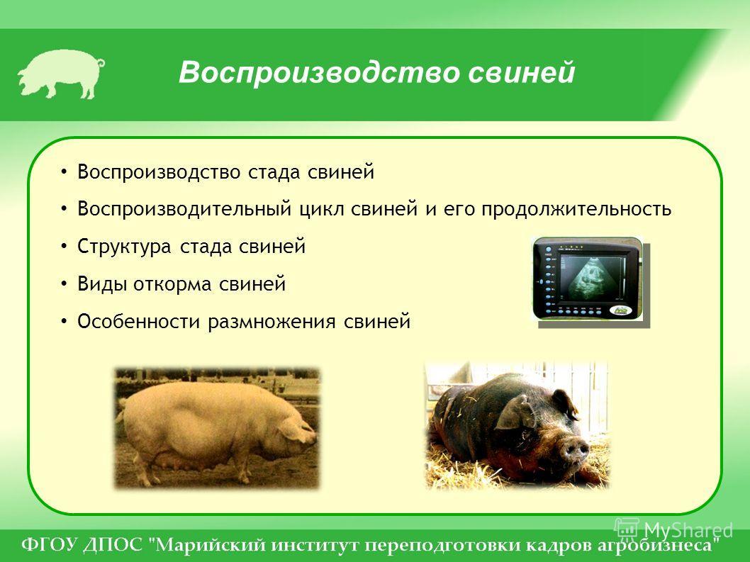 Воспроизводство свиней Воспроизводство стада свиней Воспроизводительный цикл свиней и его продолжительность Структура стада свиней Виды откорма свиней Особенности размножения свиней