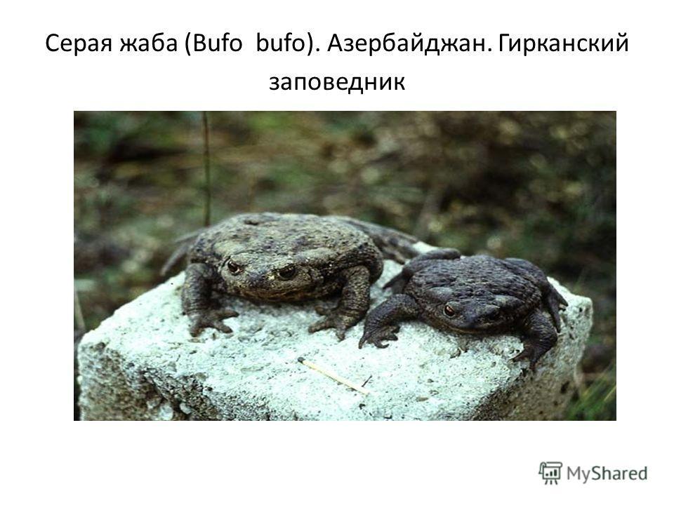 Серая жаба (Bufo bufo). Азербайджан. Гирканский заповедник