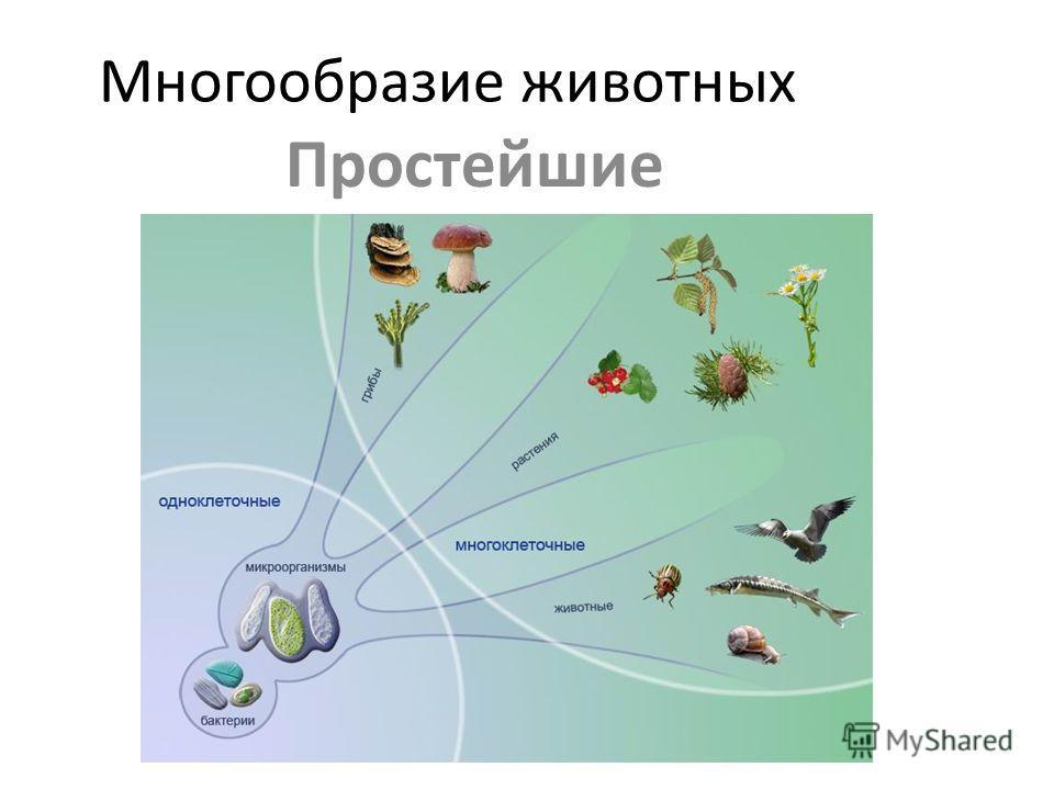 Многообразие животных Простейшие