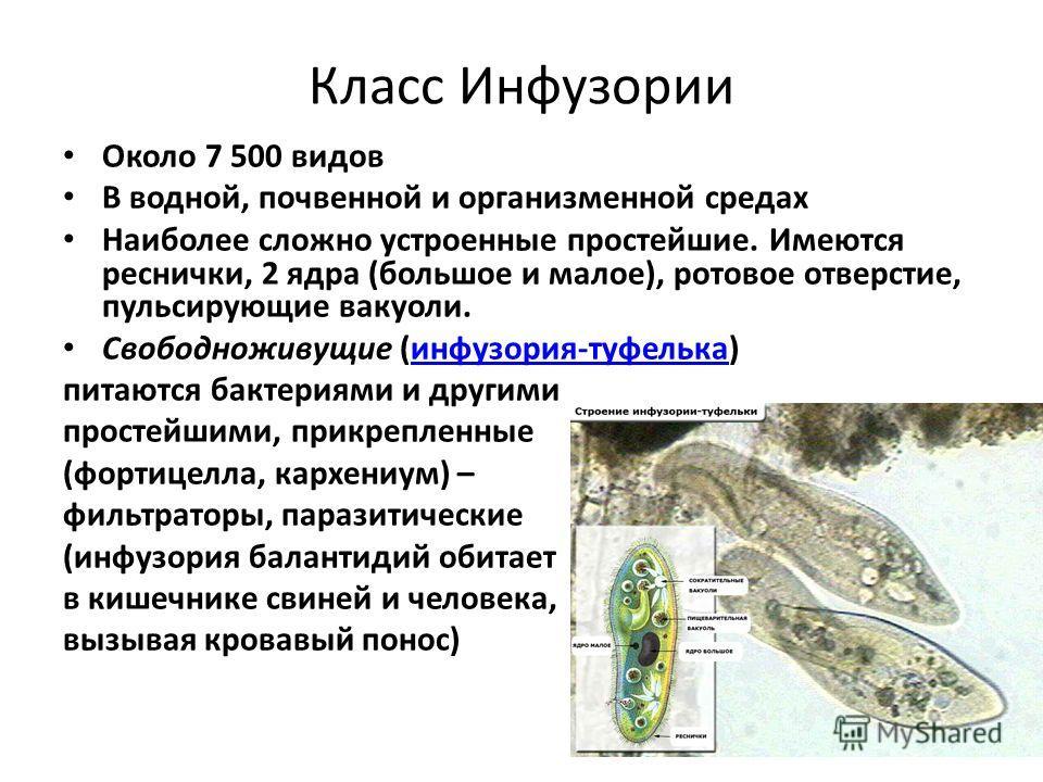 Класс Инфузории Около 7 500 видов В водной, почвенной и организменной средах Наиболее сложно устроенные простейшие. Имеются реснички, 2 ядра (большое и малое), ротовое отверстие, пульсирующие вакуоли. Свободноживущие (инфузория-туфелька)инфузория-туф