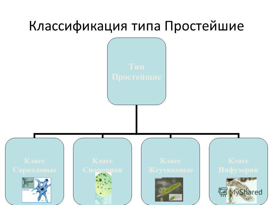 Классификация типа Простейшие