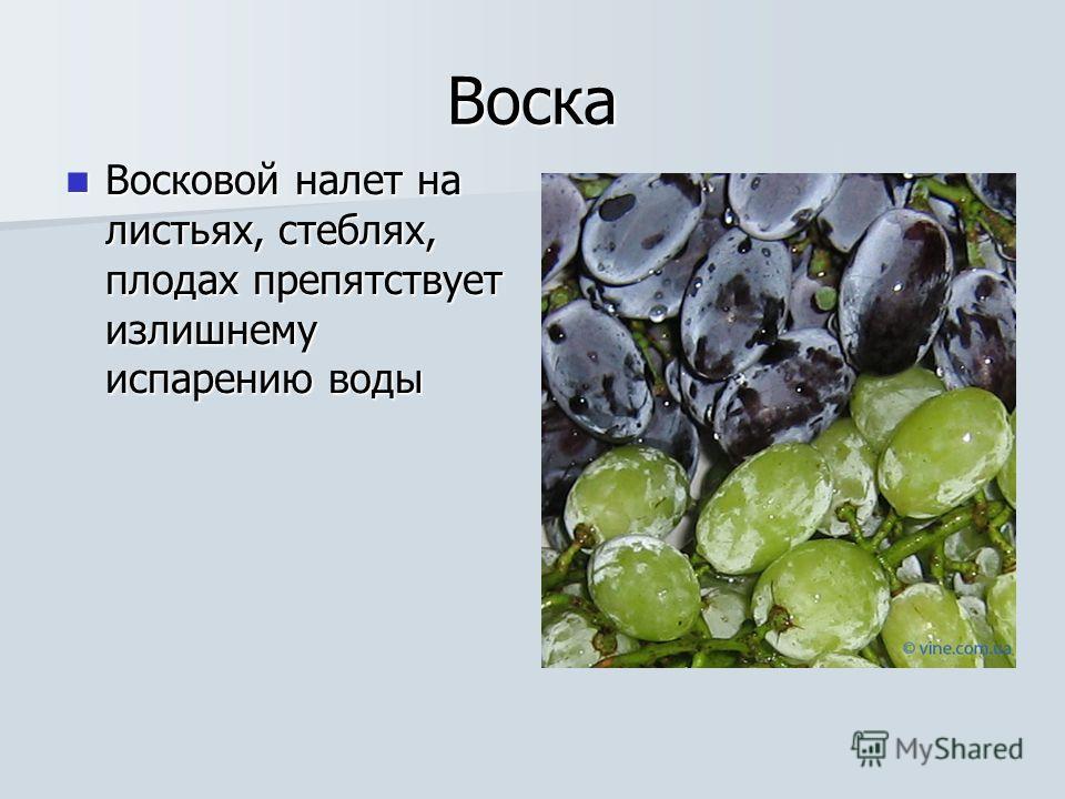 Воска Восковой налет на листьях, стеблях, плодах препятствует излишнему испарению воды Восковой налет на листьях, стеблях, плодах препятствует излишнему испарению воды