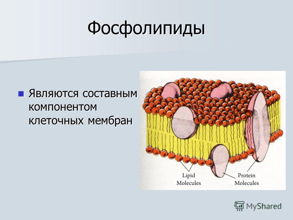 Фосфолипиды Являются составным компонентом клеточных мембран Являются составным компонентом клеточных мембран