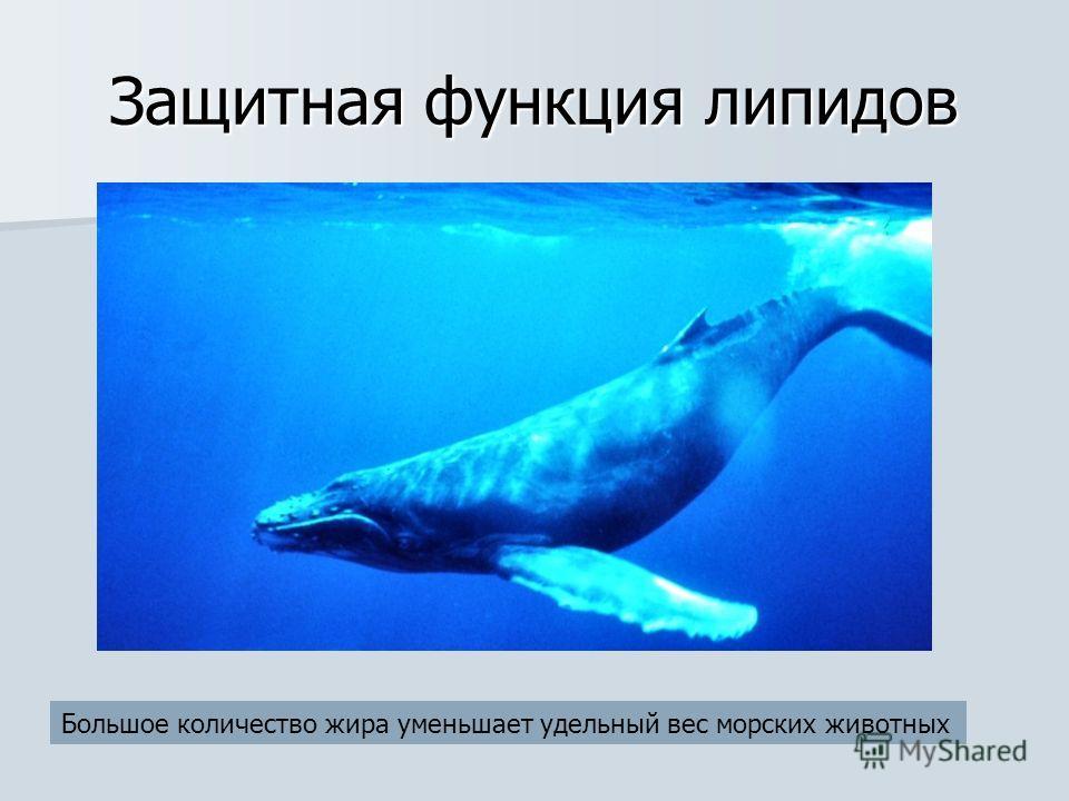 Защитная функция липидов Большое количество жира уменьшает удельный вес морских животных