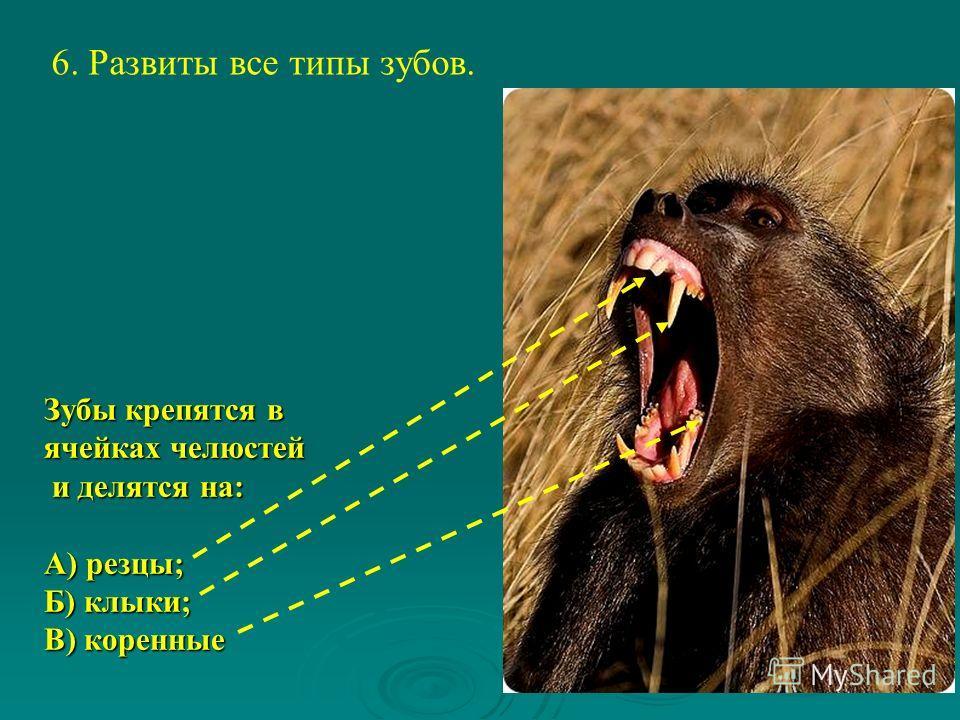 6. Развиты все типы зубов. Зубы крепятся в ячейках челюстей и делятся на: и делятся на: А) резцы; Б) клыки; В) коренные