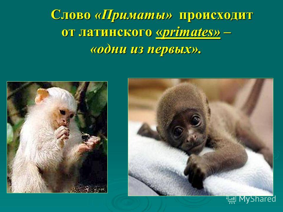 Слово «Приматы» происходит от латинского «primates» – «одни из первых». Слово «Приматы» происходит от латинского «primates» – «одни из первых».