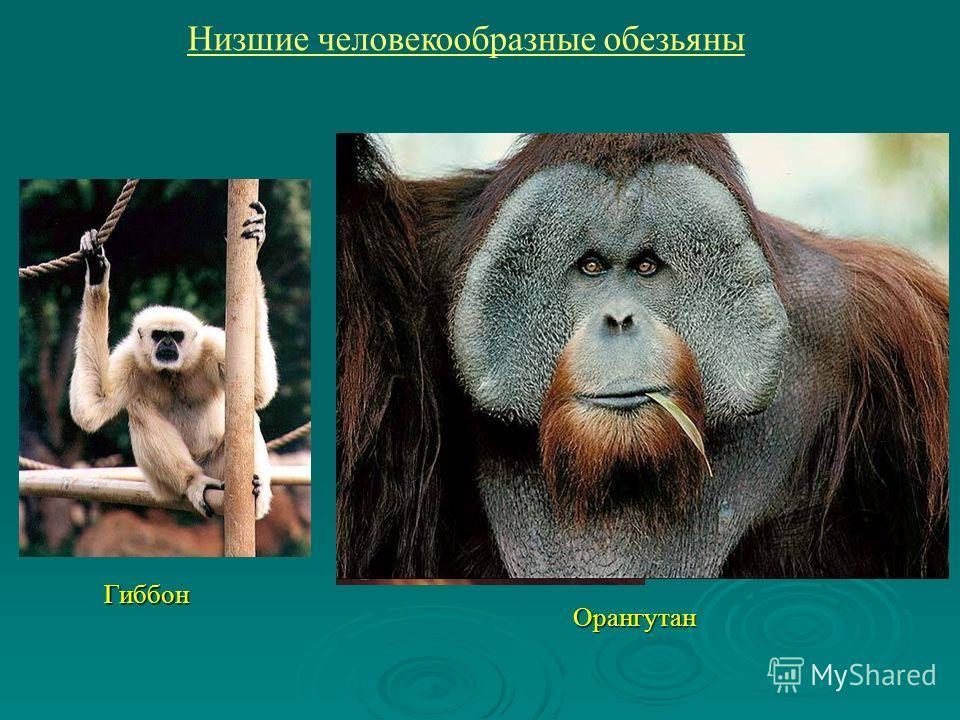Гиббон Орангутан Низшие человекообразные обезьяны