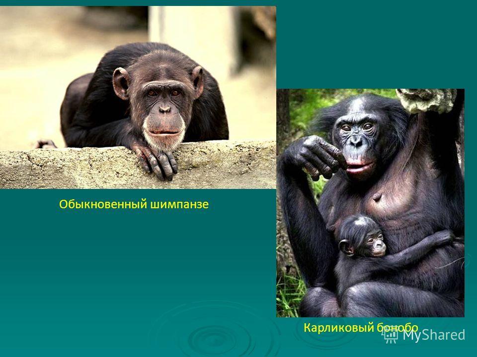 Обыкновенный шимпанзе Карликовый бонобо