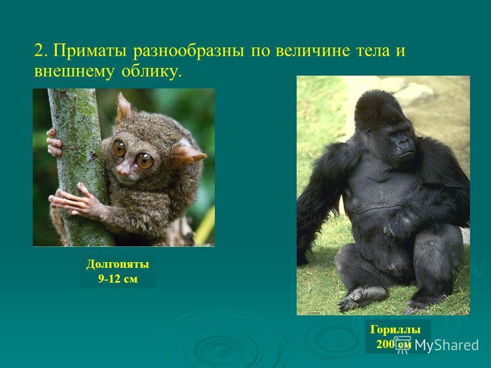 2. Приматы разнообразны по величине тела и внешнему облику. Долгопяты 9-12 см Гориллы 200 см