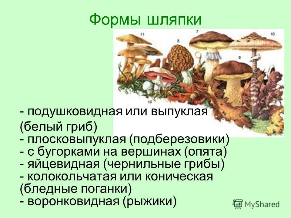 Формы шляпки - подушковидная или выпуклая (белый гриб) - плосковыпуклая (подберезовики) - с бугорками на вершинах (опята) - яйцевидная (чернильные грибы) - колокольчатая или коническая (бледные поганки) - воронковидная (рыжики)