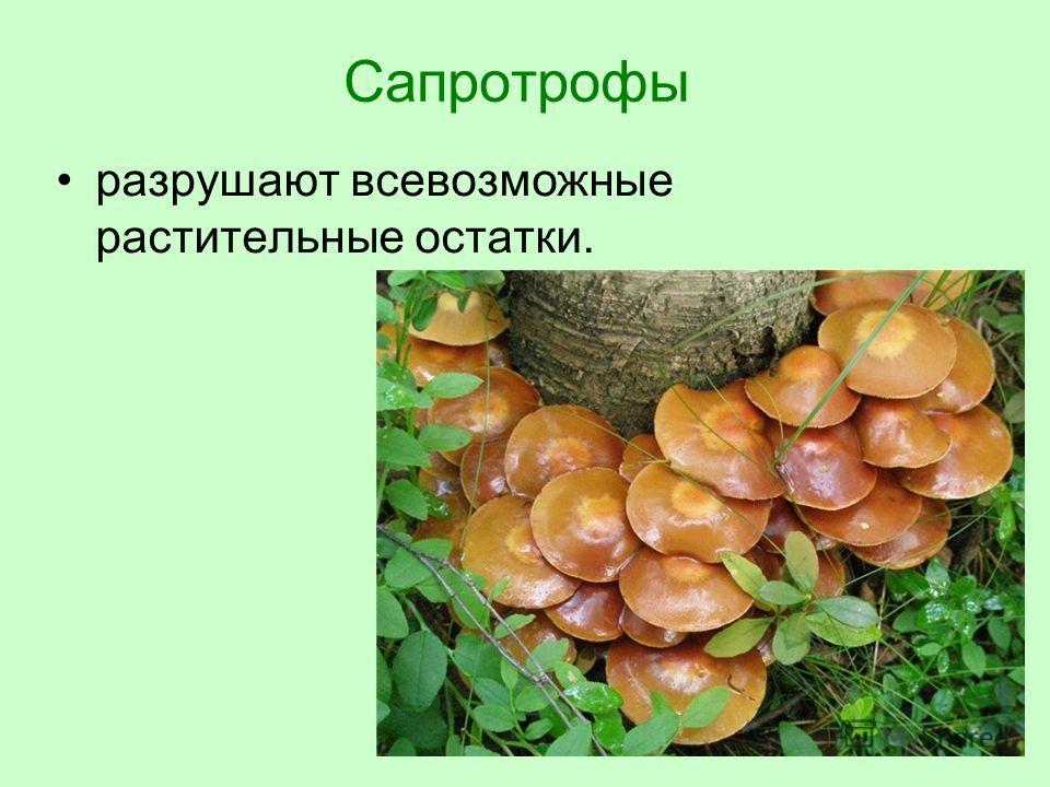 Сапротрофы разрушают всевозможные растительные остатки.