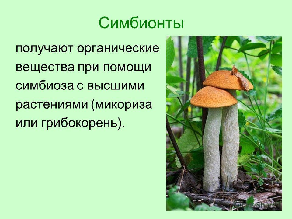 Симбионты получают органические вещества при помощи симбиоза с высшими растениями (микориза или грибокорень).