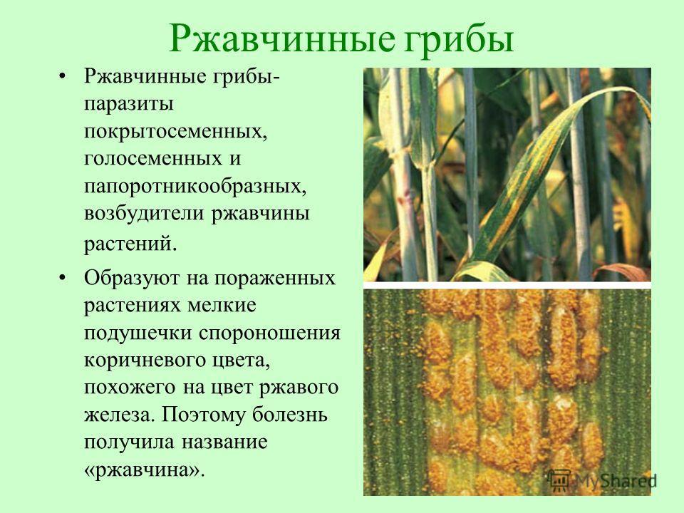 грибы паразиты человека и животных презентация