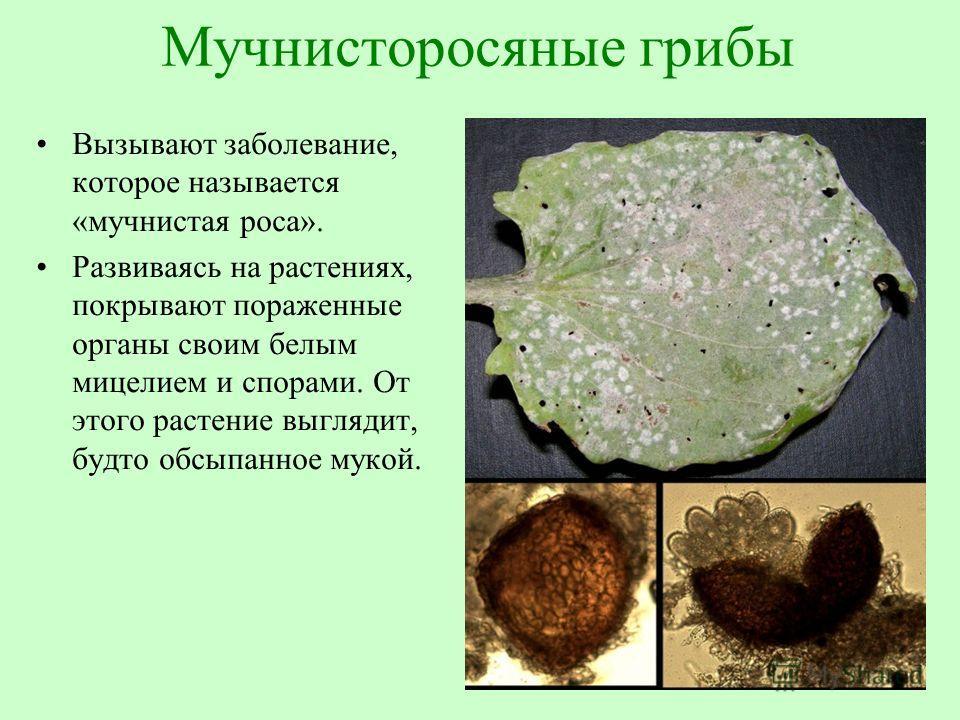 Мучнисторосяные грибы Вызывают заболевание, которое называется «мучнистая роса». Развиваясь на растениях, покрывают пораженные органы своим белым мицелием и спорами. От этого растение выглядит, будто обсыпанное мукой.