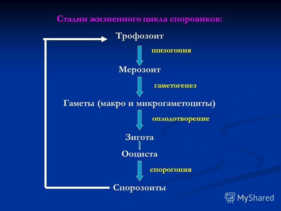 Стадии жизненного цикла споровиков: Трофозоит Мерозоит Гаметы (макро и микрогаметоциты) Зигота Ооциста Спорозоиты шизогония гаметогенез оплодотворение спорогония