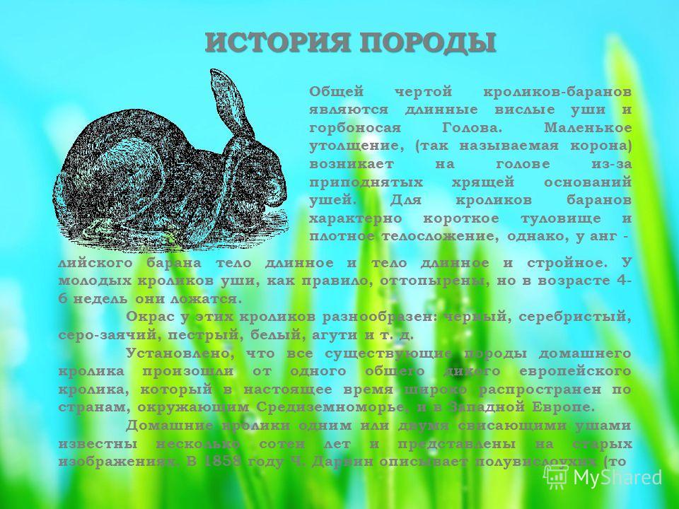 ИСТОРИЯ ПОРОДЫ Общей чертой кроликов-баранов являются длинные вислые уши и горбоносая Голова. Маленькое утолщение, (так называемая корона) возникает на голове из-за приподнятых хрящей оснований ушей. Для кроликов баранов характерно короткое туловище