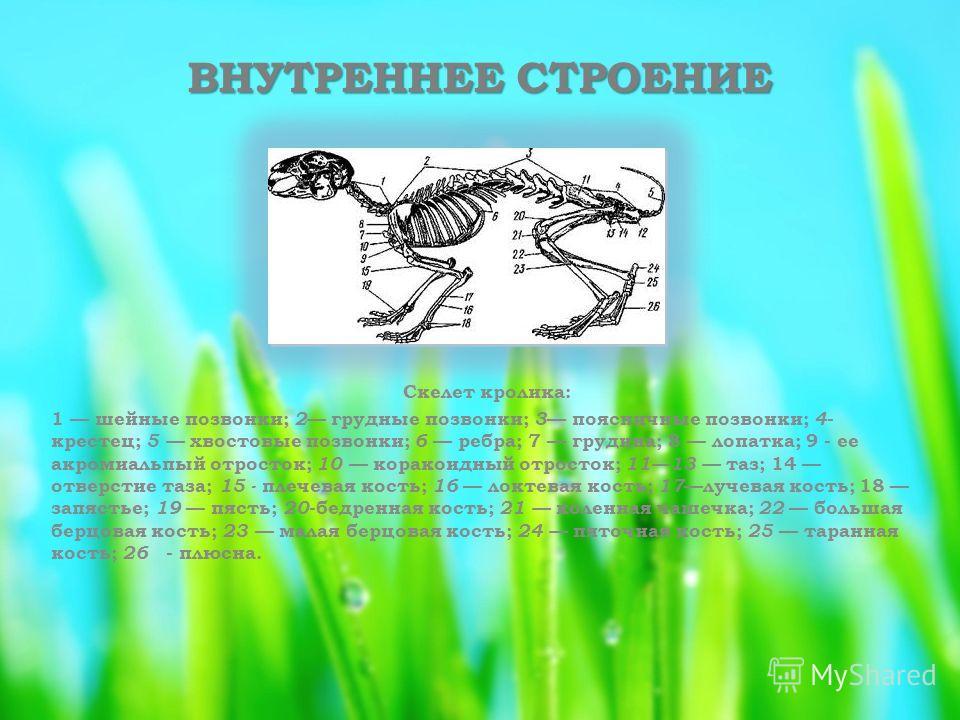 ВНУТРЕННЕЕ СТРОЕНИЕ Скелет кролика: 1 шейные позвонки; 2 грудные позвонки; 3 поясничные позвонки; 4 - крестец; 5 хвостовые позвонки; 6 ребра; 7 грудина; 8 лопатка; 9 - ее акромиальпый отросток; 10 коракоидный отросток; 1113 таз; 14 отверстие таза; 15